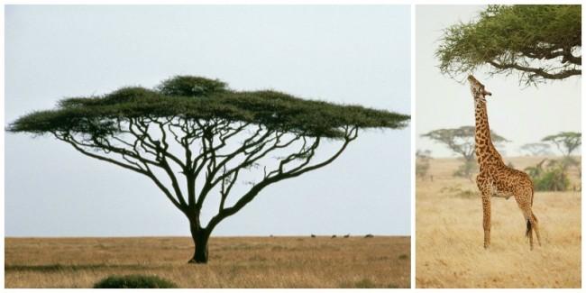 acacia_giraffe