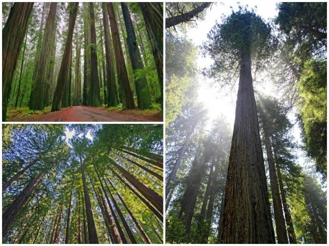 redwood_collage