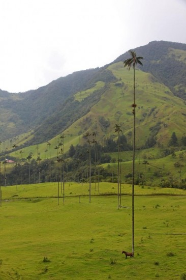 wax_palm_cocora_valley